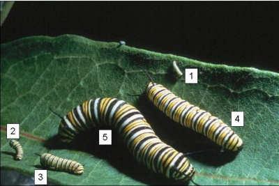 1st-5th instars of monarch larvae.