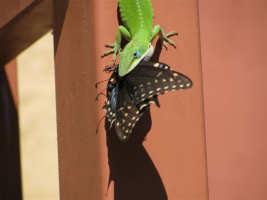 Anole lizard eating an adult swallowtail