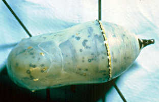 Monarch pupa infected with the protozoan O. elektroscirrha