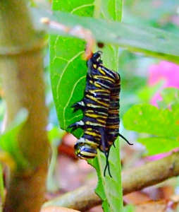 Monarch larva hanging by prolegs shortly after death