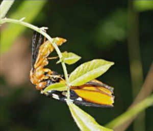 Parasitized Monarch